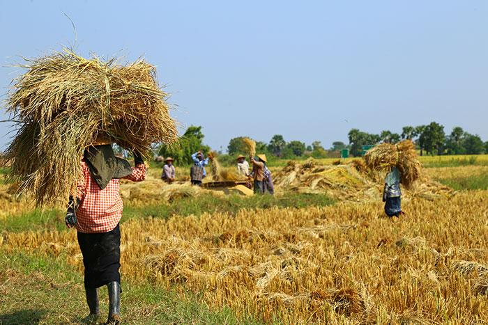 10-experiencias-autenticas-viaje-camboya-campo-de-arroz