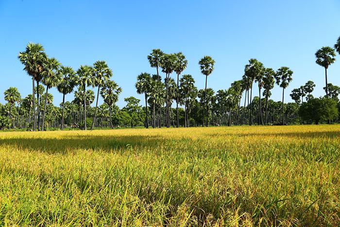 Campos hermosos de Camboya