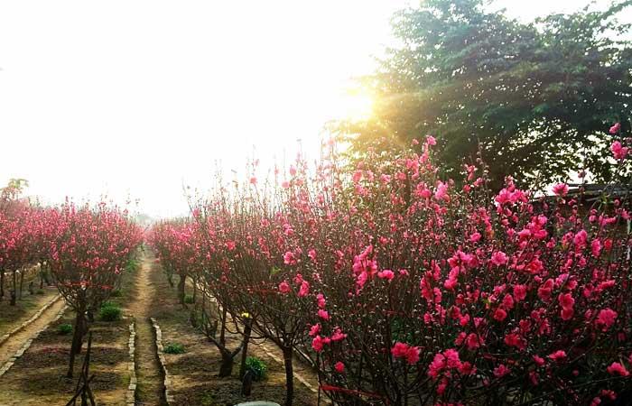Flor de durazno ano nuevo vietnamita Tet