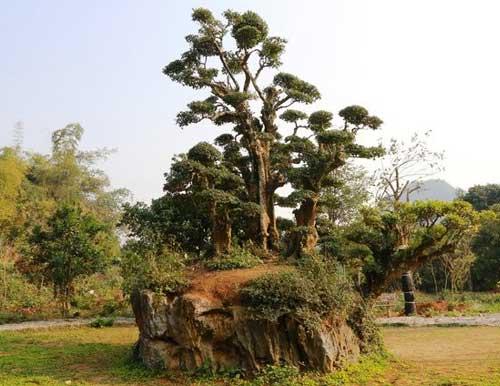 Arbol milenario duoi en Thung Nham Ninh Binh