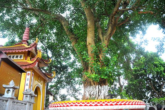 Arbol sagrado de Pagod Tran Quoc en Hanoi