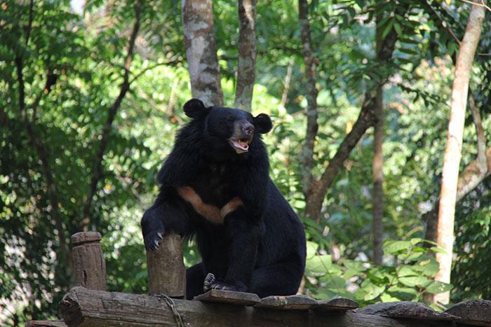 Centro de rescate de osos en Kuang Si Laos