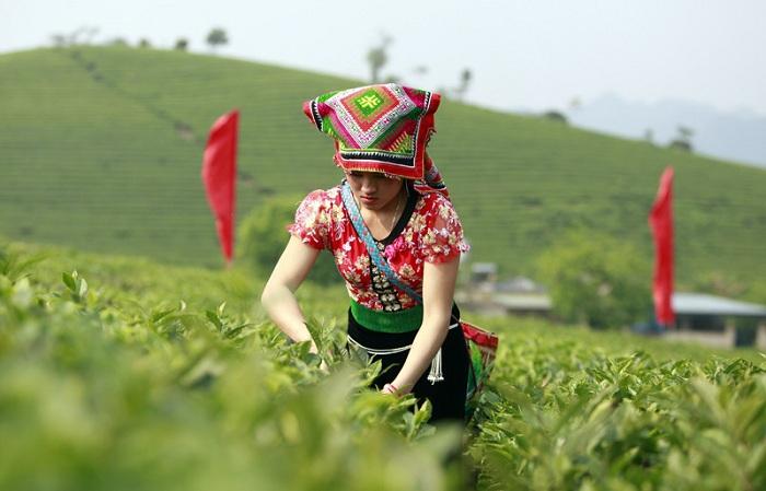 Cosecha de te en Son La Vietnam