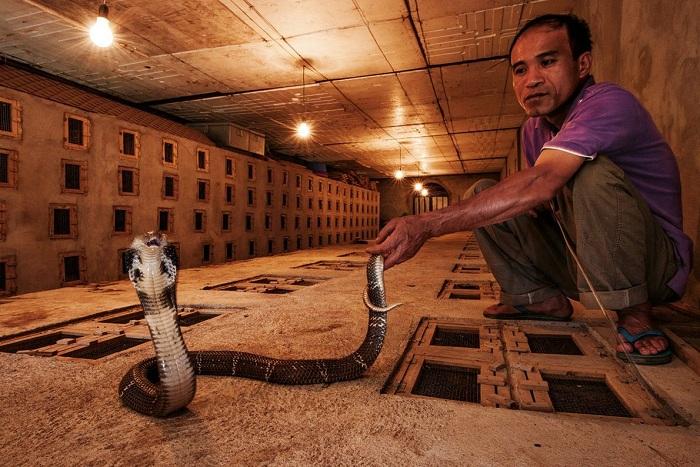 Criador de serpientes en Vietnam