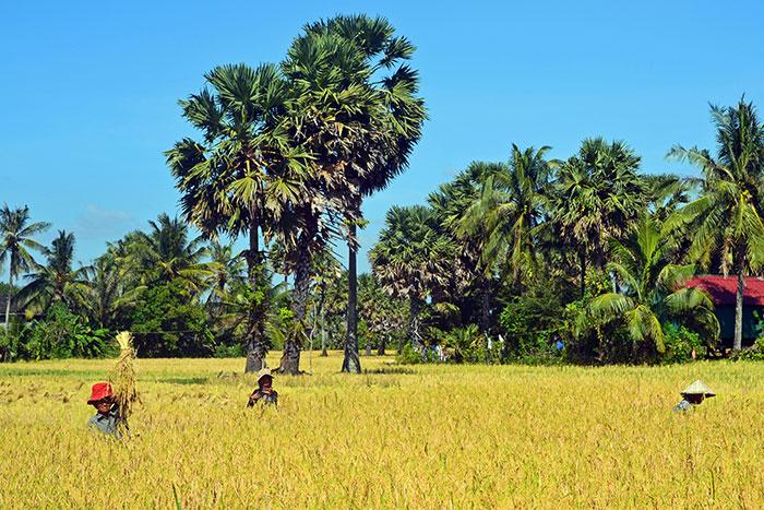 cuando-ir-a-camboya-cosecha-de-arroz