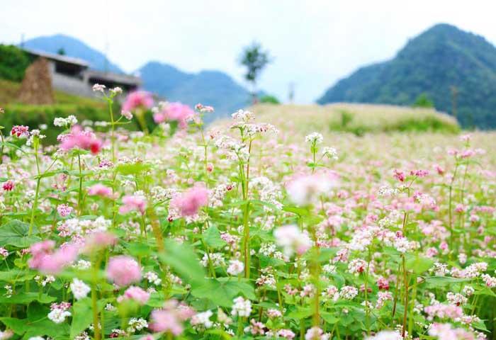 Flores de alforfon en Ha Giang Vietnam
