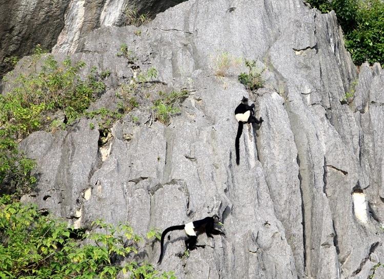 Langures de delacour en la Reserva Natural de Van Long