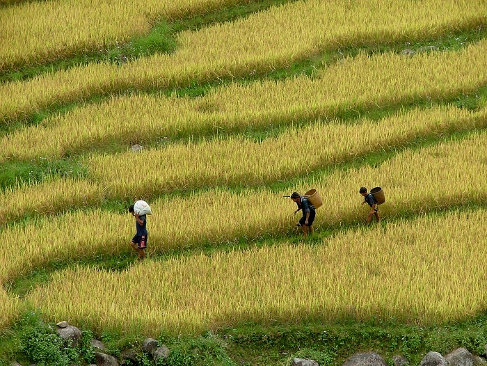 Agricultorees en los campos de arroz en Sapa Vietnam