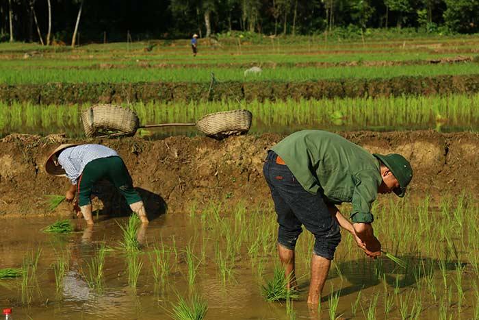 Cultivo de arroz en Mai Chau Vietnam