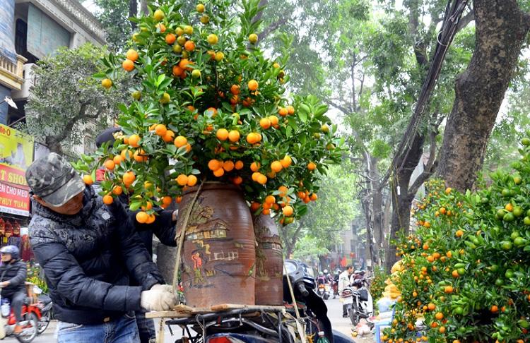 Arbol de naranjo chino en Hanoi