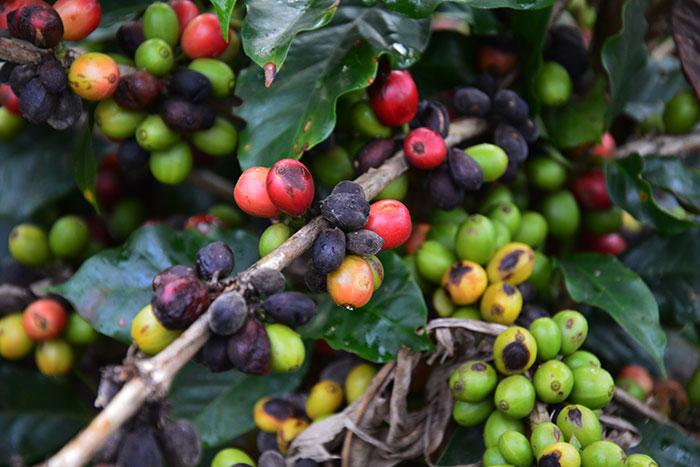 Plantaciones de cafe en Mondolkiri Camboya
