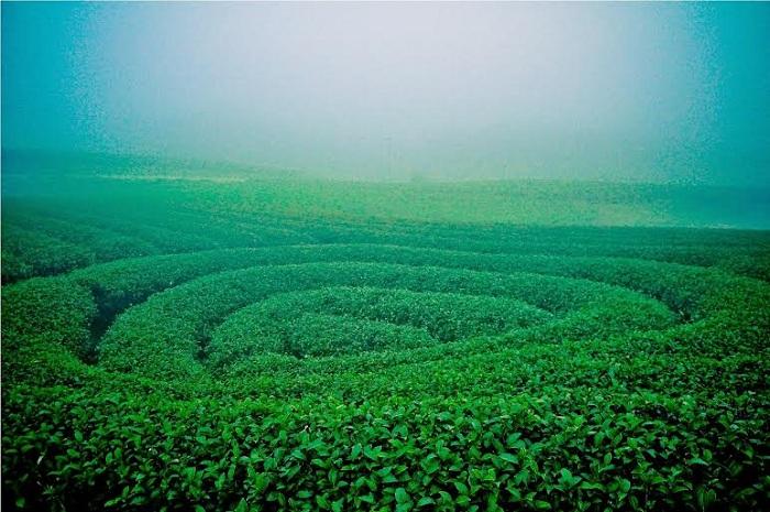 Plantacion de te en Moc Chau Vietnam