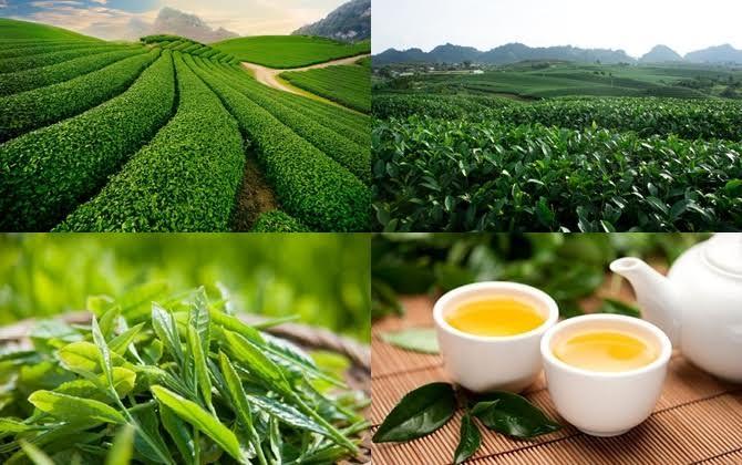 Plantaciones de te en Son La Vietnam