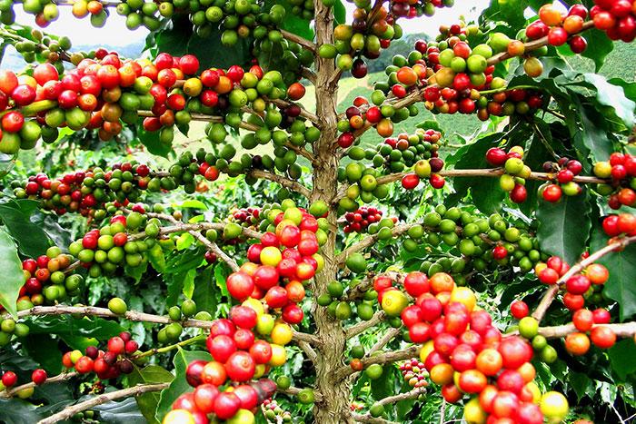 Plantaciones de cafe en el sur de Laos