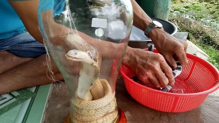 Preparación de vino de serpiente