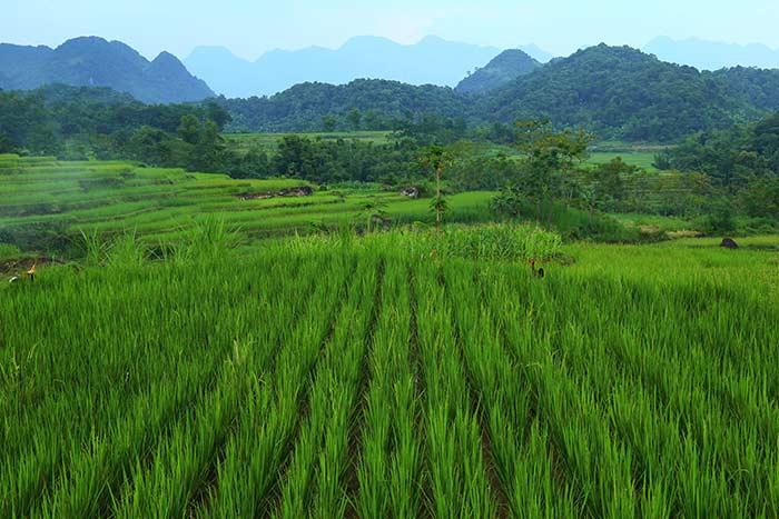 Arrozales en Pu Luong Vietnam