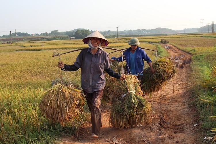 Cosecha de arroz en el pueblo Duong Lam en Hanoi