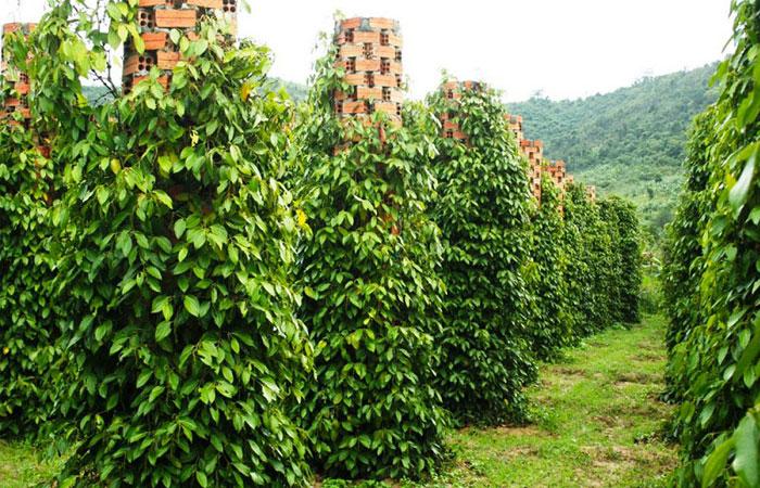 Granaj de pimienta en Phu Quoc Vietnam