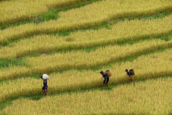 Campos de arroz en Sapa 2 o 3 dias