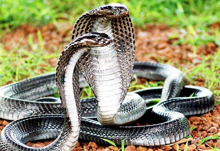Serpiente utilizada para la elaboracion de vino