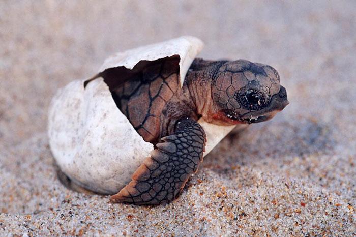 Tortugas de mar en la isla de Con Dao
