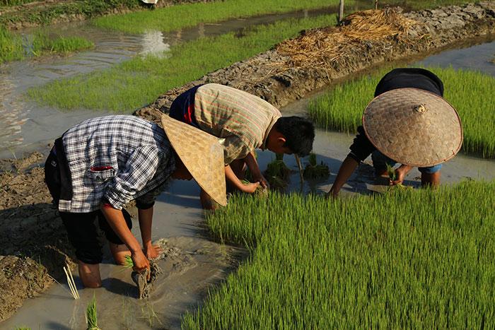 Transplante de arroz en Luang Prabang