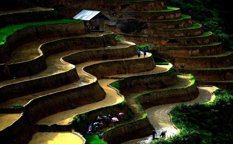 Trasplante en las terrazas de arroz de Ha Giang