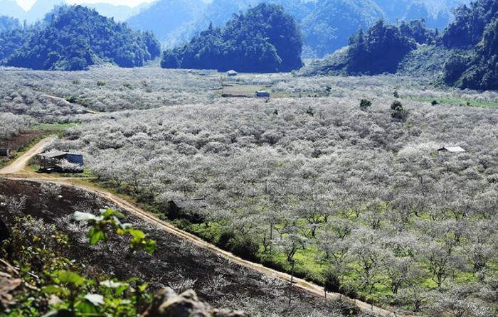 Valle de ciruelas de Na Ka en Moc Chau