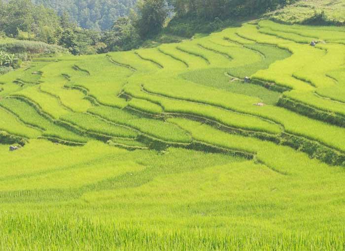 Campos de arroz en el valle Kho Muong en Pu Luong