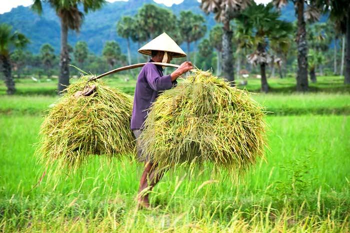 Qué ver en Vietnam en enero y febrero cosecha de arroz en el sur