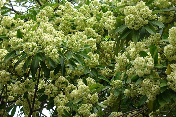 Viajar a Vietnam en marzo y abril flores en Hanoi