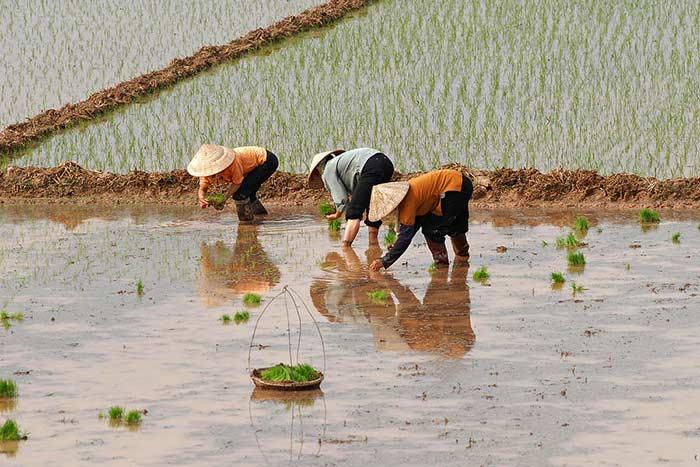Viajar a vietnam en marzo y abril transplantacion de arroz