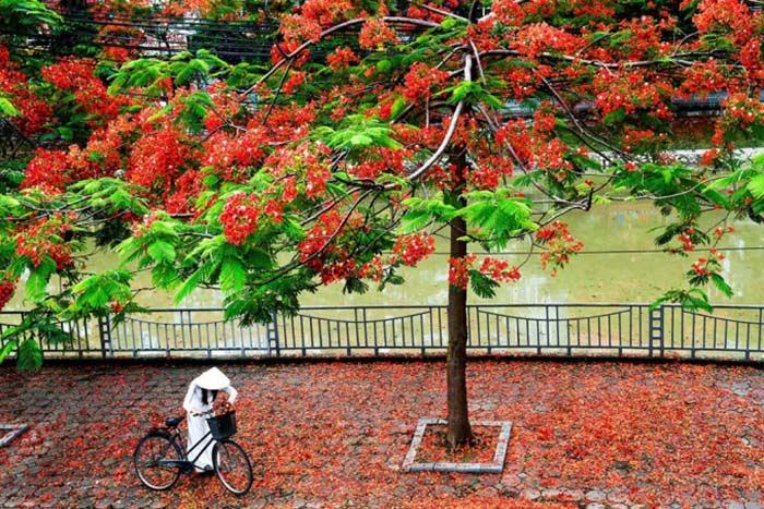 Consejos para viajar a Vietnam en mayo y junio flamboyanes Hanoi